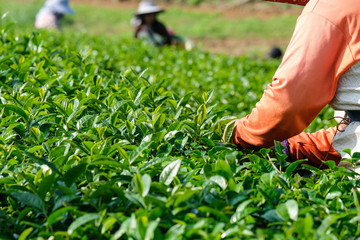 Farmer hands picking fresh green tea bud, Tea plantation agriculture, nature background