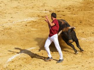 Competición con toros bravos en España. Esta competición es una forma de la tauromaquia donde la gente usa su propio cuerpo para torear