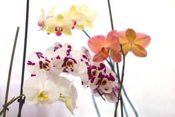 Colorful orchids on a white background