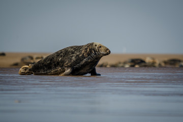 Fotoväggar - UK Atlantic Grey Seal