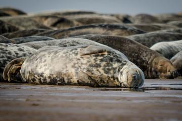 Fotoväggar - Sleeping Atlantic Grey Seals