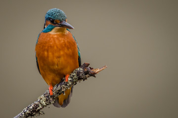 Fototapete - UK Wild Kingfisher perched