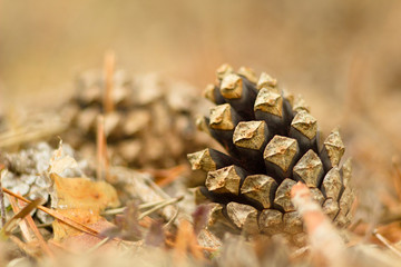 Pine cone on green spring branch, on pine tree.