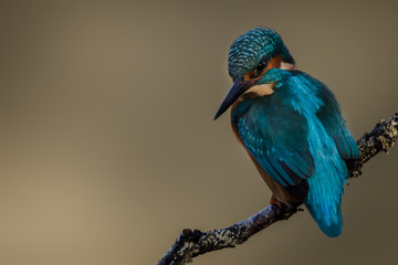 Fototapete - Kingfisher perched UK wild