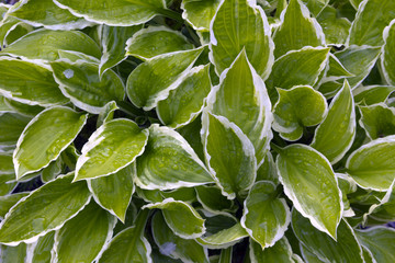 Vibrant green variegated hosta leaves full frame close-up after rain
