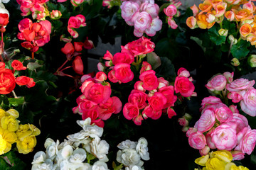 Image of the colorful begonia flowers in the garden.