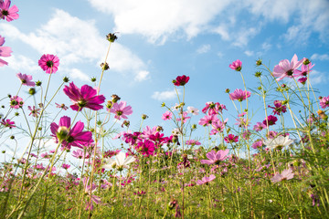 Cosmos flower beautiful nature Isolated in garden