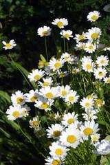Daisy, margarite, clump, white and yellow orange