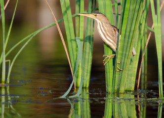 Little bittern (Ixobrychus minutus) perched amongst reeds