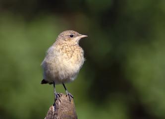 Northern wheatear chick (Oenanthe oenanthe)