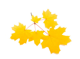 autumn yellow leaves isolated