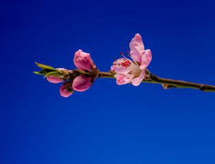 Beautiful blossom of pink peach branch covered with water drops on blue background.