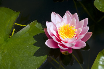 Pink Water Lily in summer sunshine