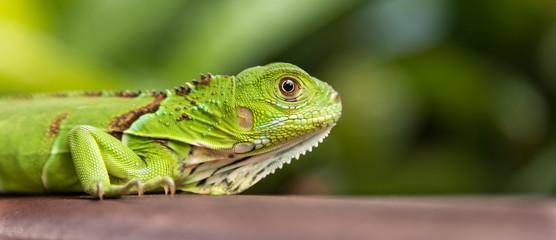 Small Green Iguana Closeup Wall mural
