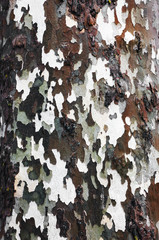 Background texture of tree bark