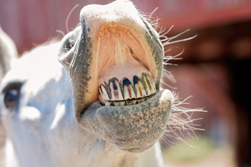 White Horse Baring Its Teeth