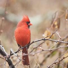 Northern Cardinal ~ male