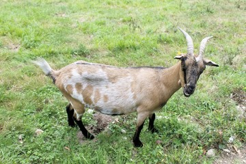 Curious happy goat grazing on a green grassy lawn.