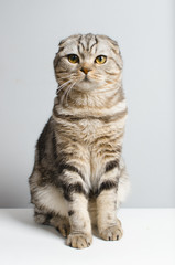 beautiful and cute Scottish cat cute sitting on a white isolator and looking at the camera. place for text.