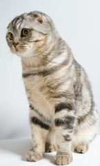 A cute and beautiful lop-eared Scottish cat is cute sitting on a white isolate. Place for text.