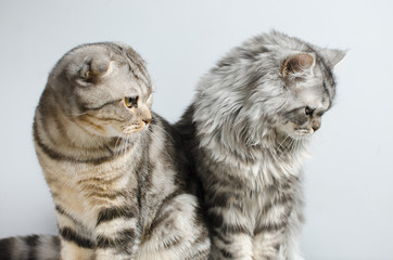 The Scottish Fold and Scottish pristine cat sit cute on a white insulator. Place for the text.