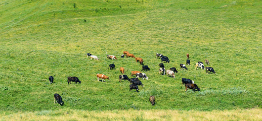 Herd of cows grazes on green spring pasture.