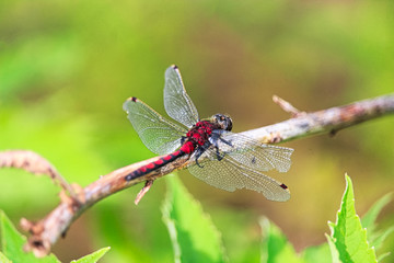 Closeup of a Boreal Whiteface dragonfly with damaged wings