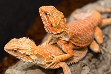 closeup of lizards macro photography