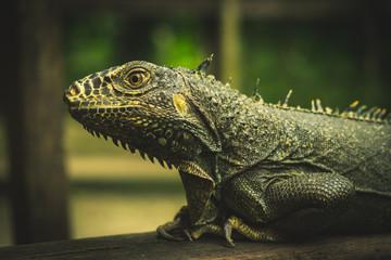 Iguana world