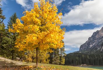 Prächtiger Spitzahorn im Herbst