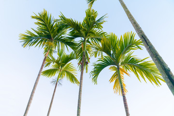 Palm trees from low point of view taowering overhead