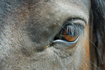 An eye of a horse.