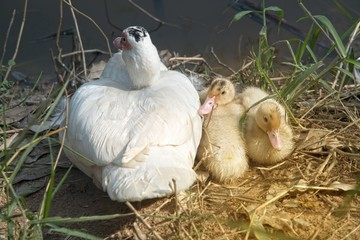 Muscovy duck mother with ducklings. The musky duck. The maintenance of musky ducks in a park.