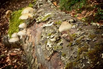 Saprophyte Porcelain Fungus On Beech Dead In Nebrodi Park, Sicily