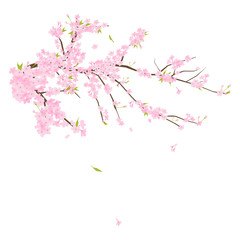 Cherry blossoms illustration in Japan.