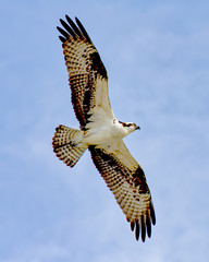 Osprey wings spread, talons tucked
