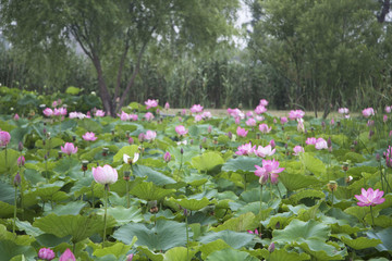 Beautiful lotus flowers