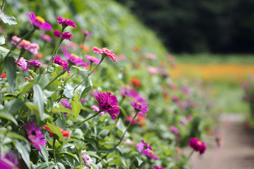 The beautiful Zinnia elegans in the field