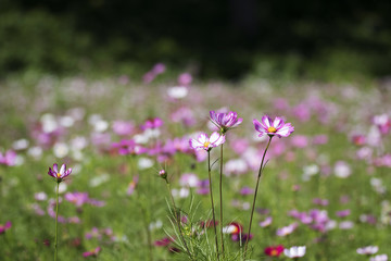 The beautiful cosmos in the field