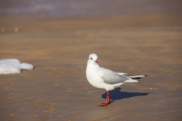 The beautiful seagulls are on the beach