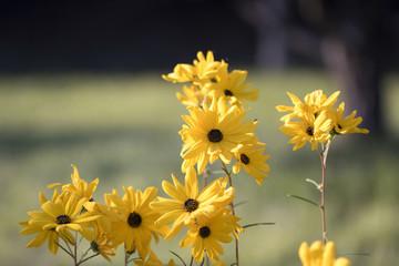 Korean chrysanthemum flowers of autumn