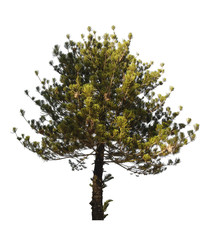 pine tree isolated on white background with Clipping Path