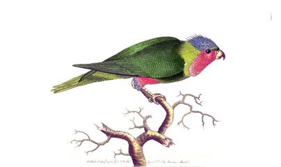 Illustration of a parrot