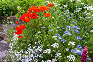 Colourful summer UK cottage garden border with poppies and love in the mist