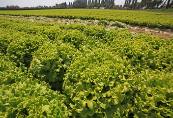 wide cultivation of lush lettuce during growth in summer