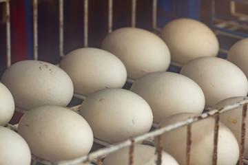 crocodile eggs on white steel shelf  in incubator