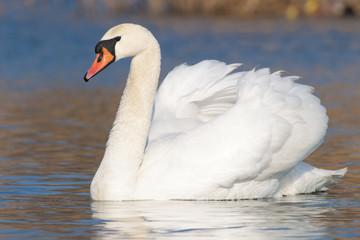 In de dag Zwaan Mute Swan