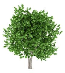 ginkgo tree isolated on white background