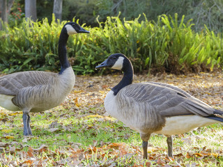 Canada Goose walking around