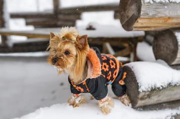 Yorkshire terrier wearing a snowsuit in a winter scenery